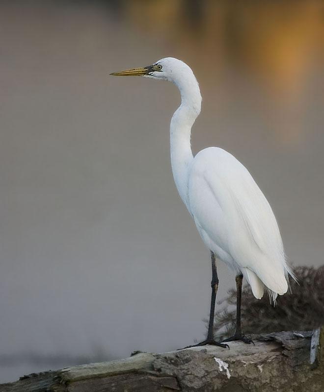 White herring bird - photo#3
